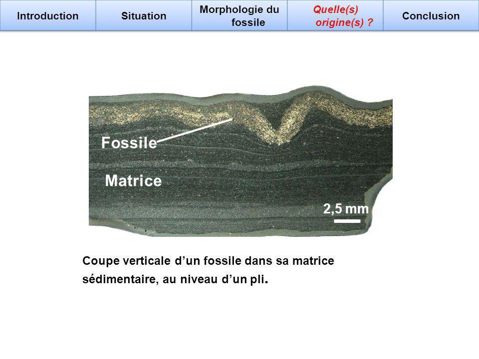 Morphologie du fossile