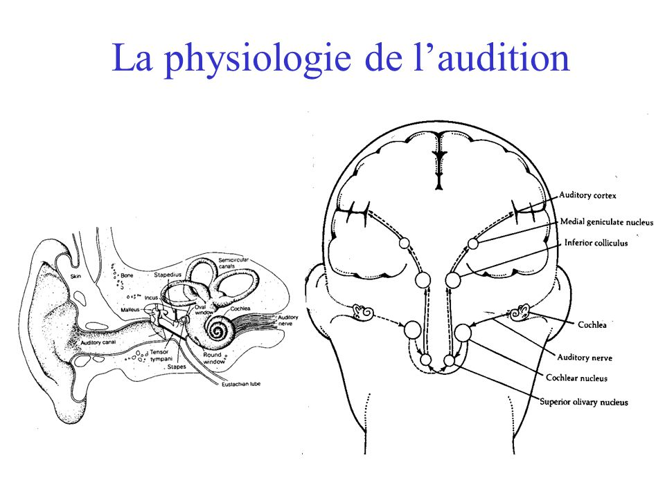 La physiologie de l'audition