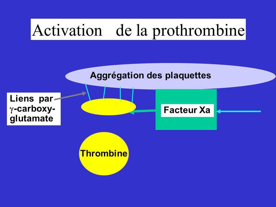 Activation de la prothrombine
