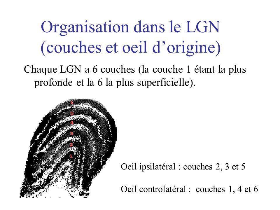 Organisation dans le LGN (couches et oeil d'origine)