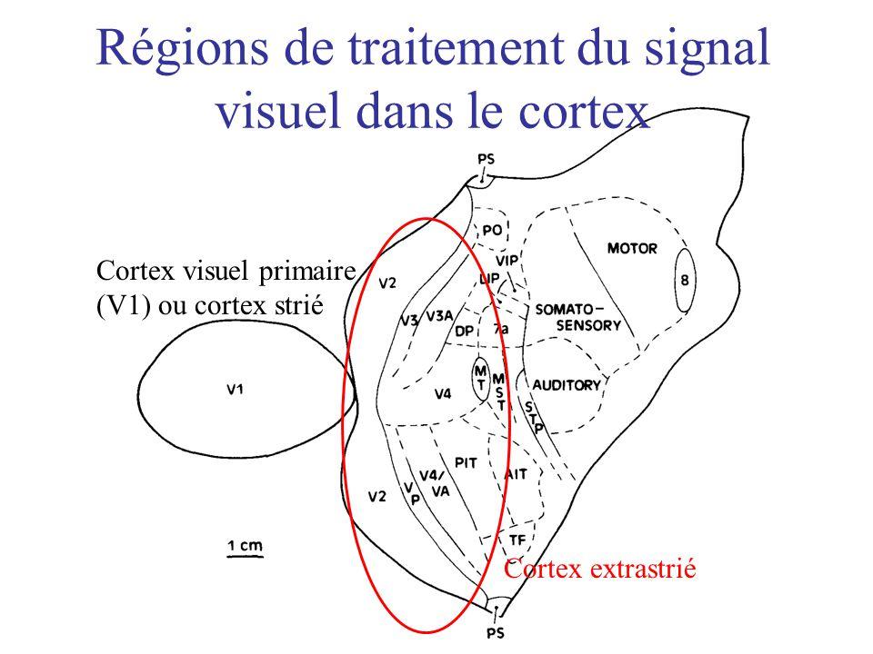 Régions de traitement du signal visuel dans le cortex