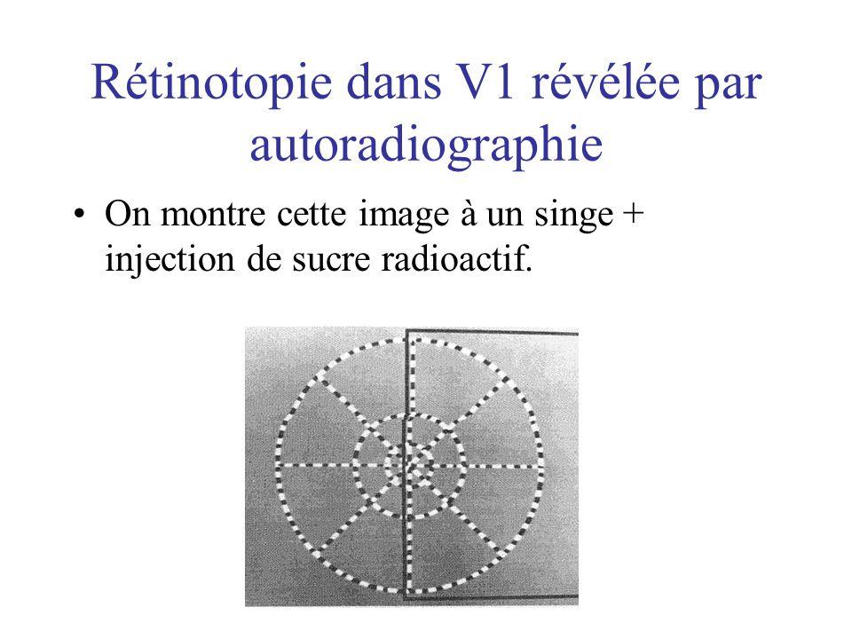 Rétinotopie dans V1 révélée par autoradiographie