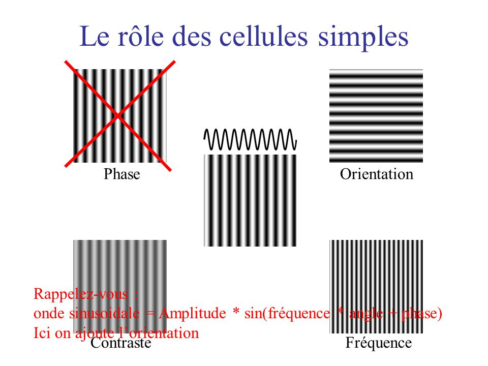 Le rôle des cellules simples
