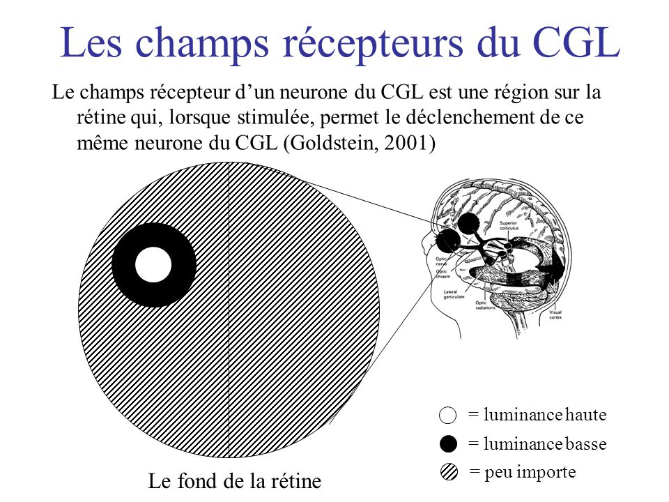 Les champs récepteurs du CGL