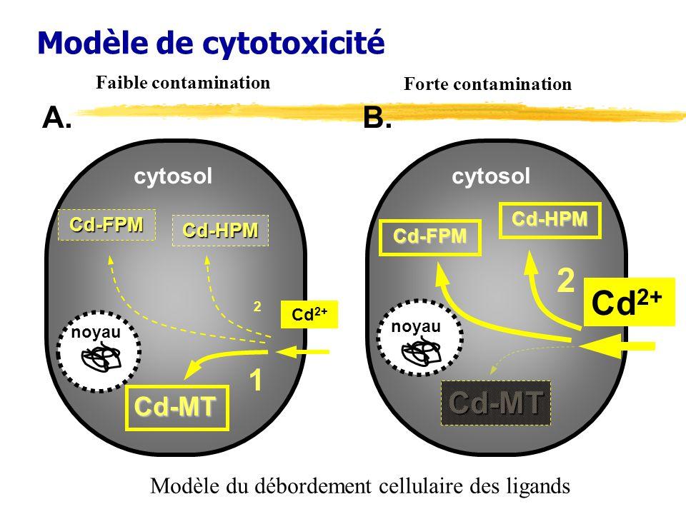 Modèle de cytotoxicité