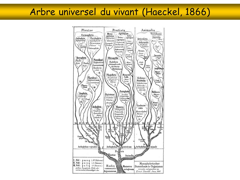 Arbre universel du vivant (Haeckel, 1866)