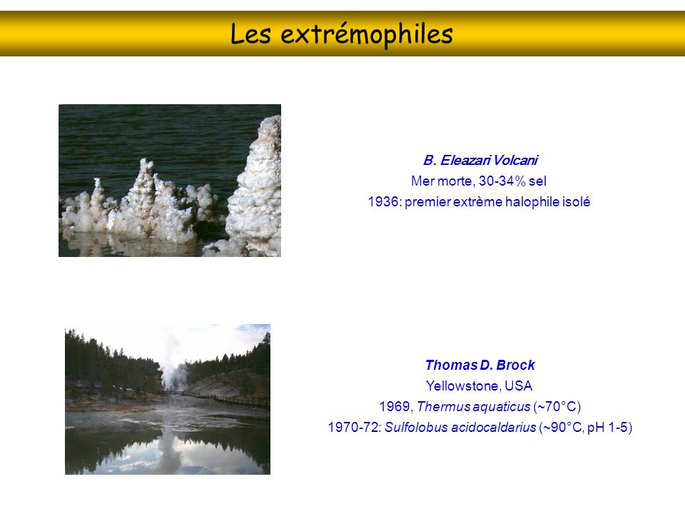Les extrémophiles B. Eleazari Volcani Mer morte, 30-34% sel