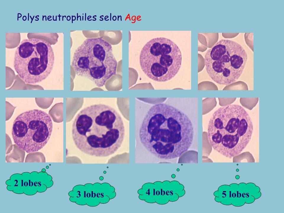 Polys neutrophiles selon Age