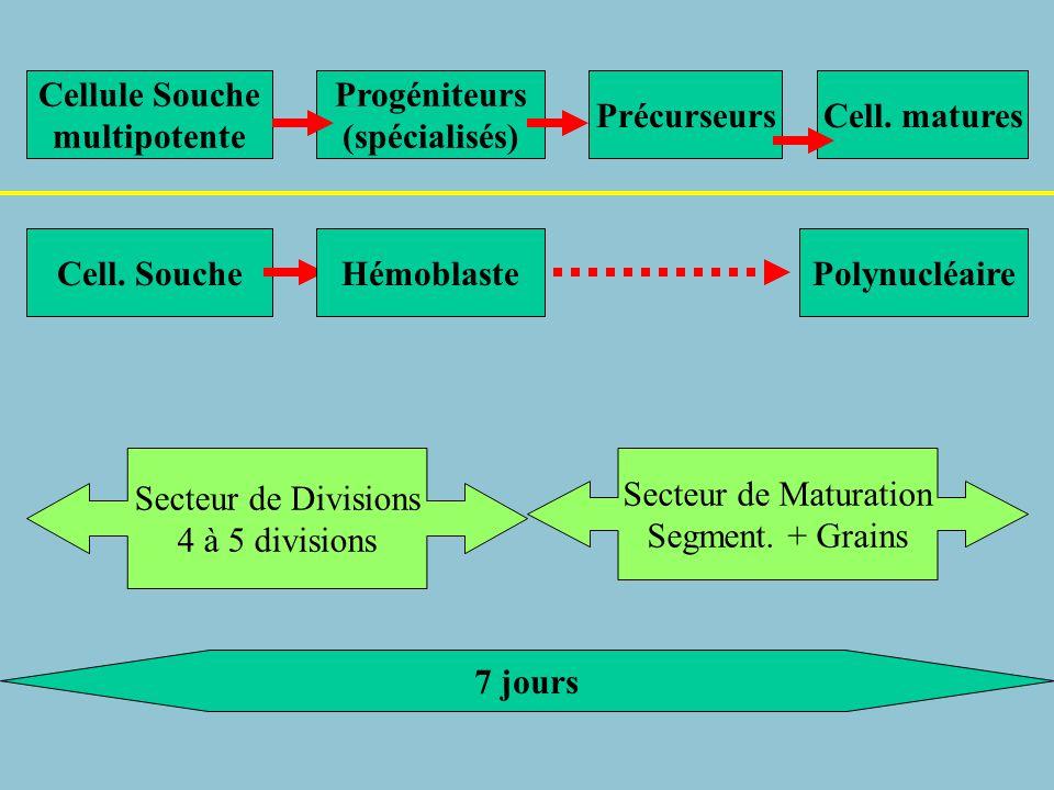 Cellule Souche multipotente. Progéniteurs. (spécialisés) Précurseurs. Cell. matures. Cell. Souche.