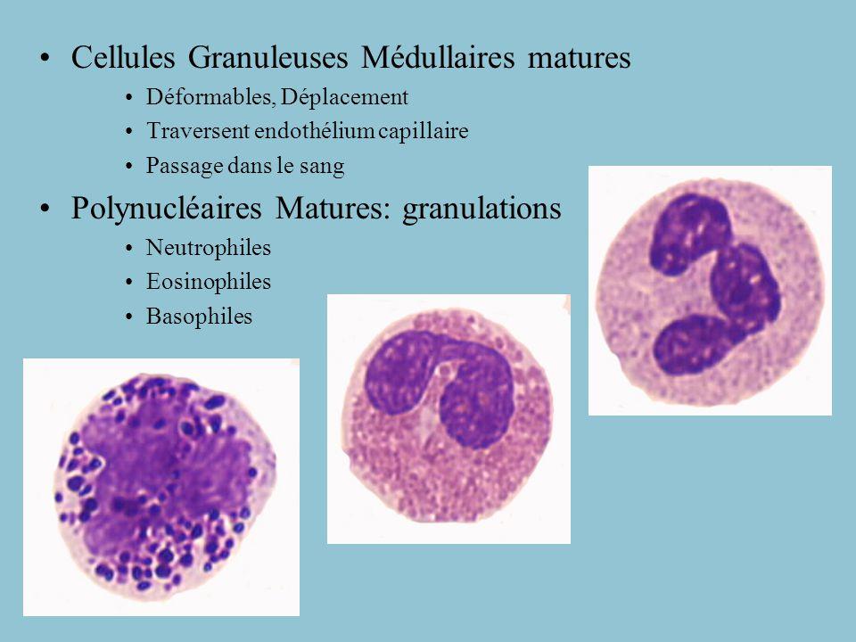 Cellules Granuleuses Médullaires matures