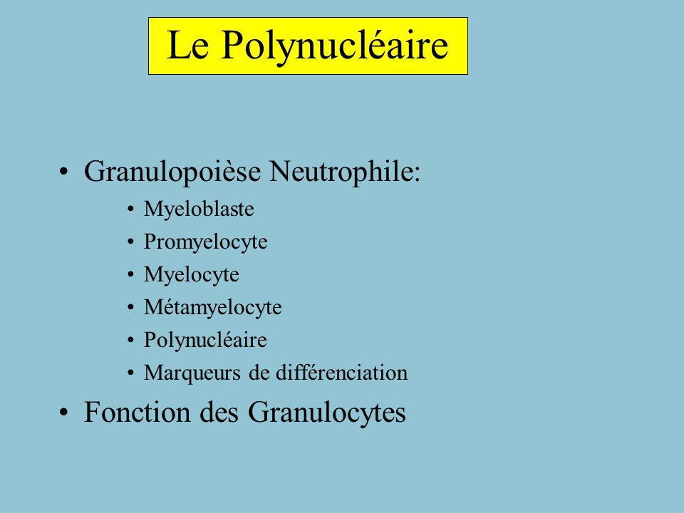 Le Polynucléaire Granulopoièse Neutrophile: Fonction des Granulocytes
