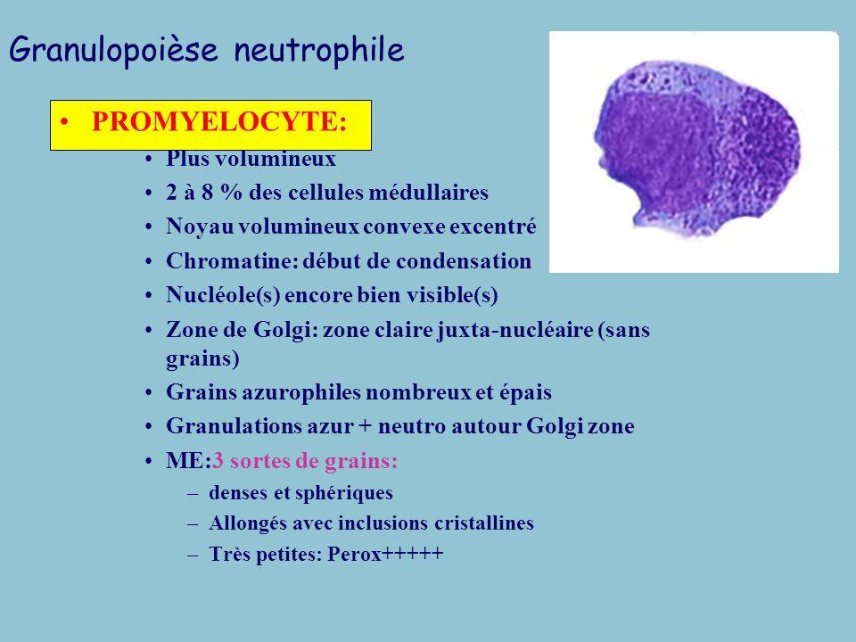 Granulopoièse neutrophile