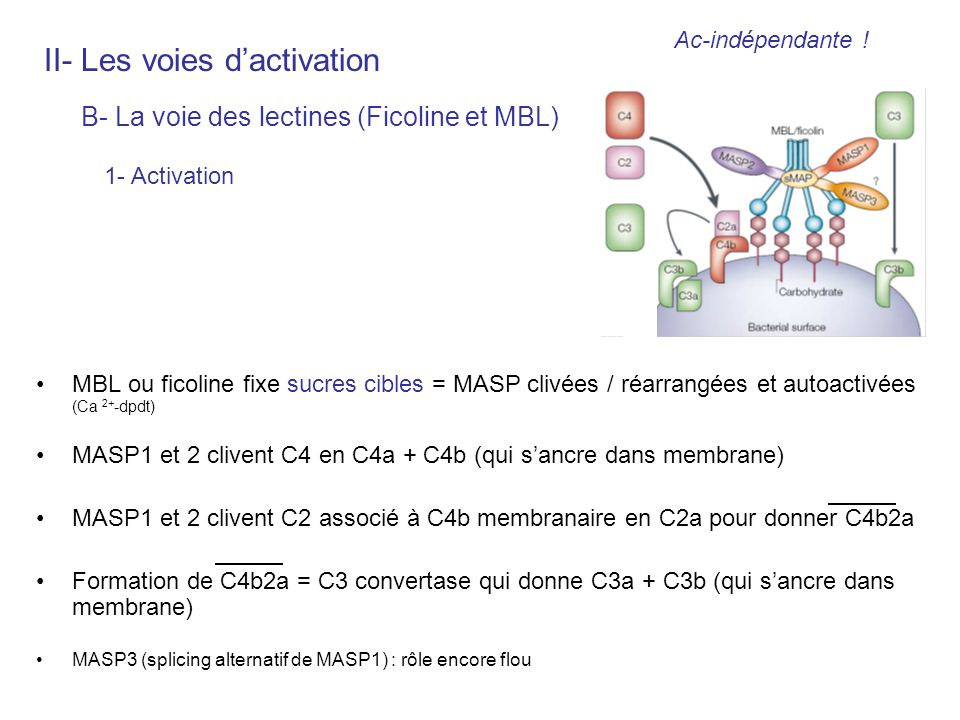 II- Les voies d'activation