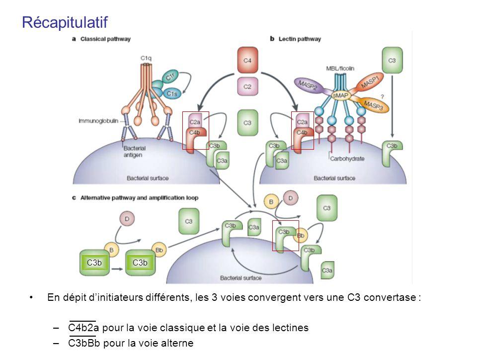 Récapitulatif C3b. C3b. En dépit d'initiateurs différents, les 3 voies convergent vers une C3 convertase :