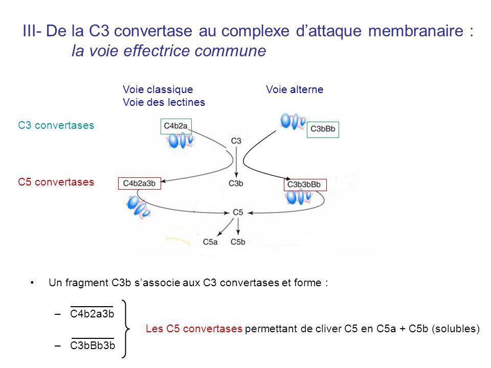 III- De la C3 convertase au complexe d'attaque membranaire :