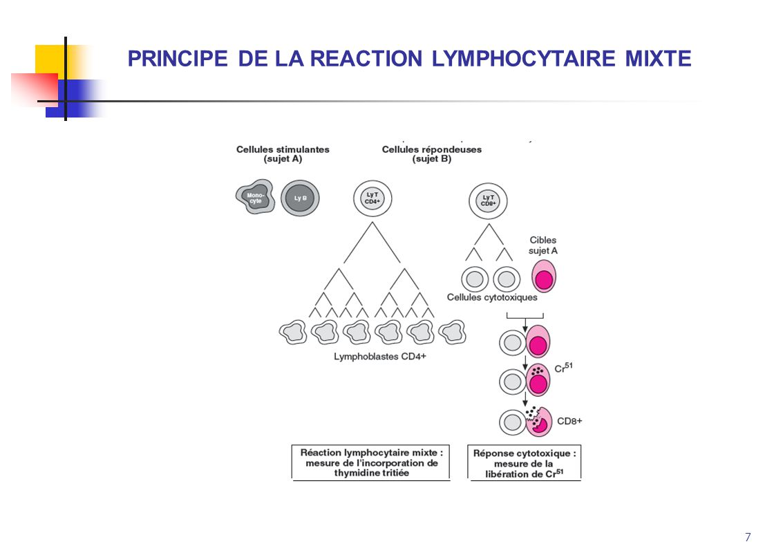 PRINCIPE DE LA REACTION LYMPHOCYTAIRE MIXTE
