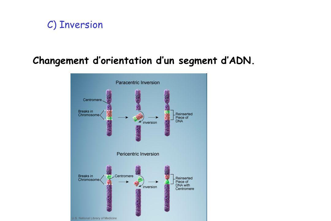 C) Inversion Changement d'orientation d'un segment d'ADN.