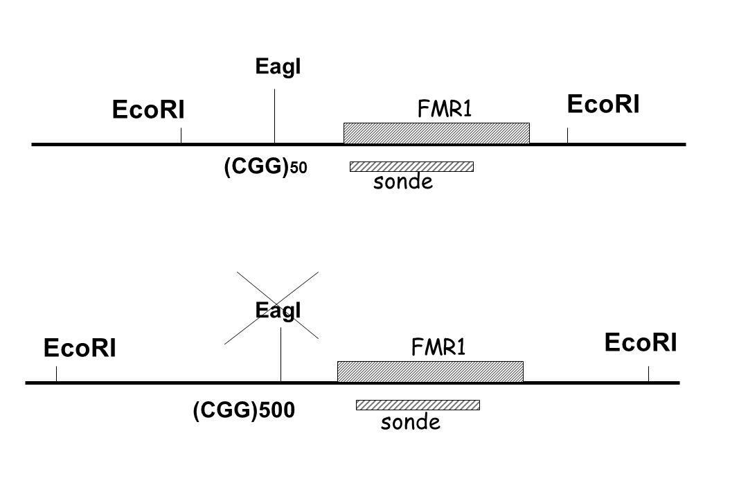 EcoRI EcoRI EcoRI EcoRI EagI FMR1 (CGG)50 sonde EagI FMR1 (CGG)500