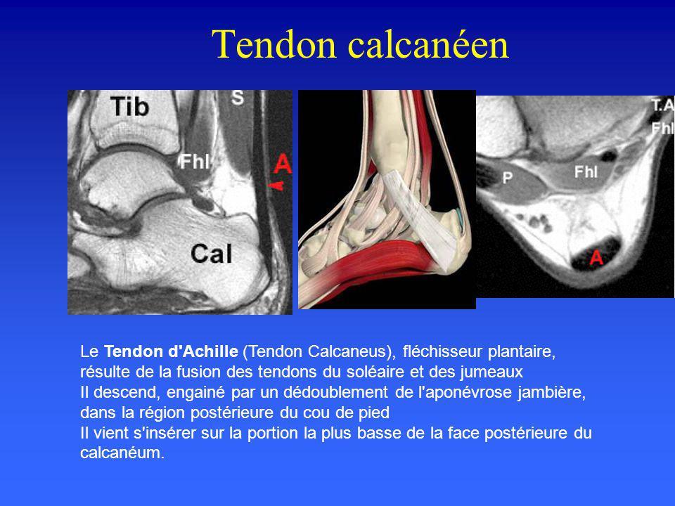 Tendon calcanéen Le Tendon d Achille (Tendon Calcaneus), fléchisseur plantaire, résulte de la fusion des tendons du soléaire et des jumeaux.