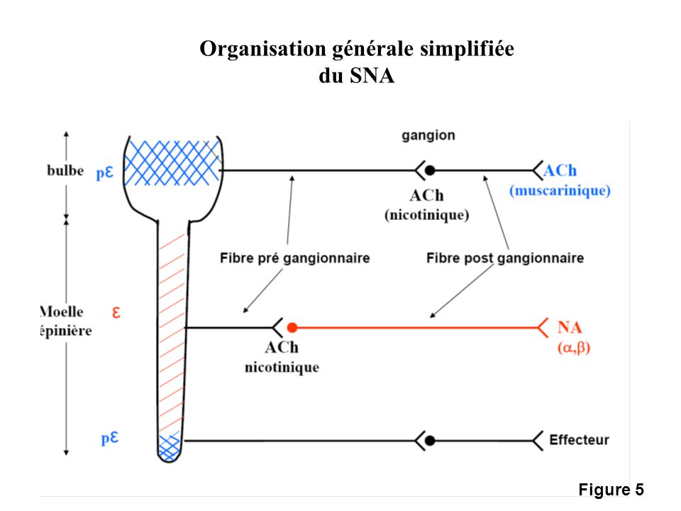 Organisation générale simplifiée
