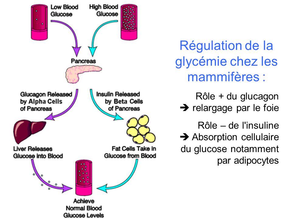 Régulation de la glycémie chez les mammifères :