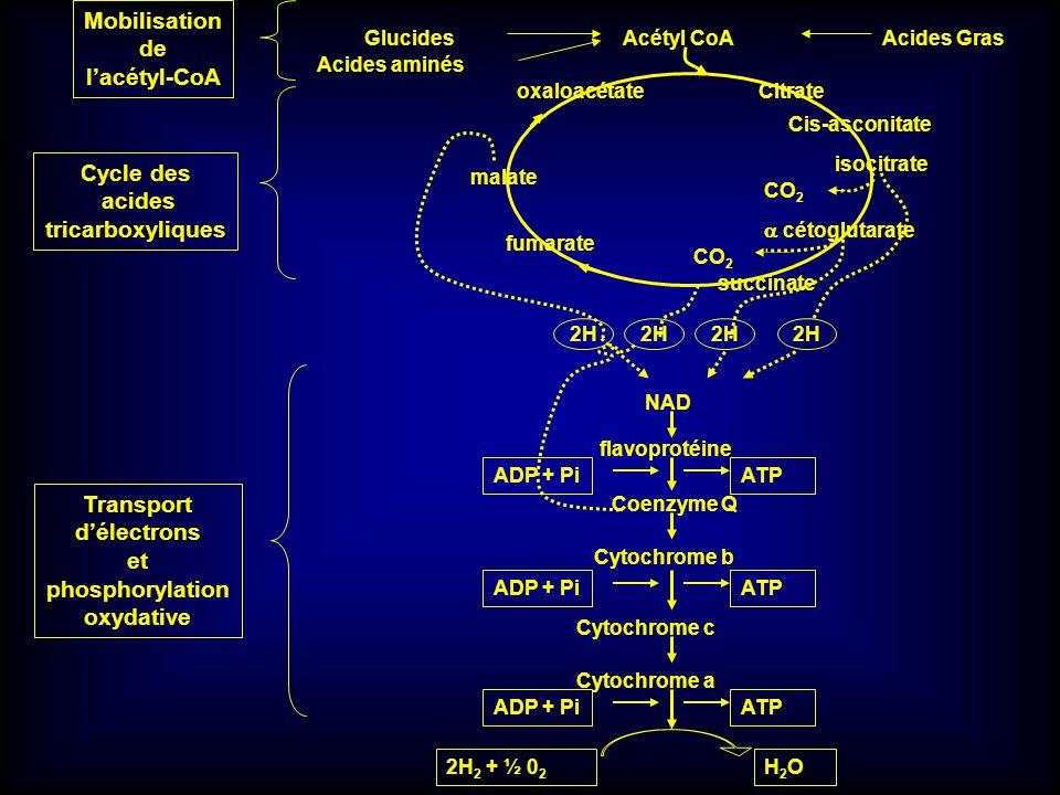 Mobilisation de l'acétyl-CoA Cycle des acides tricarboxyliques