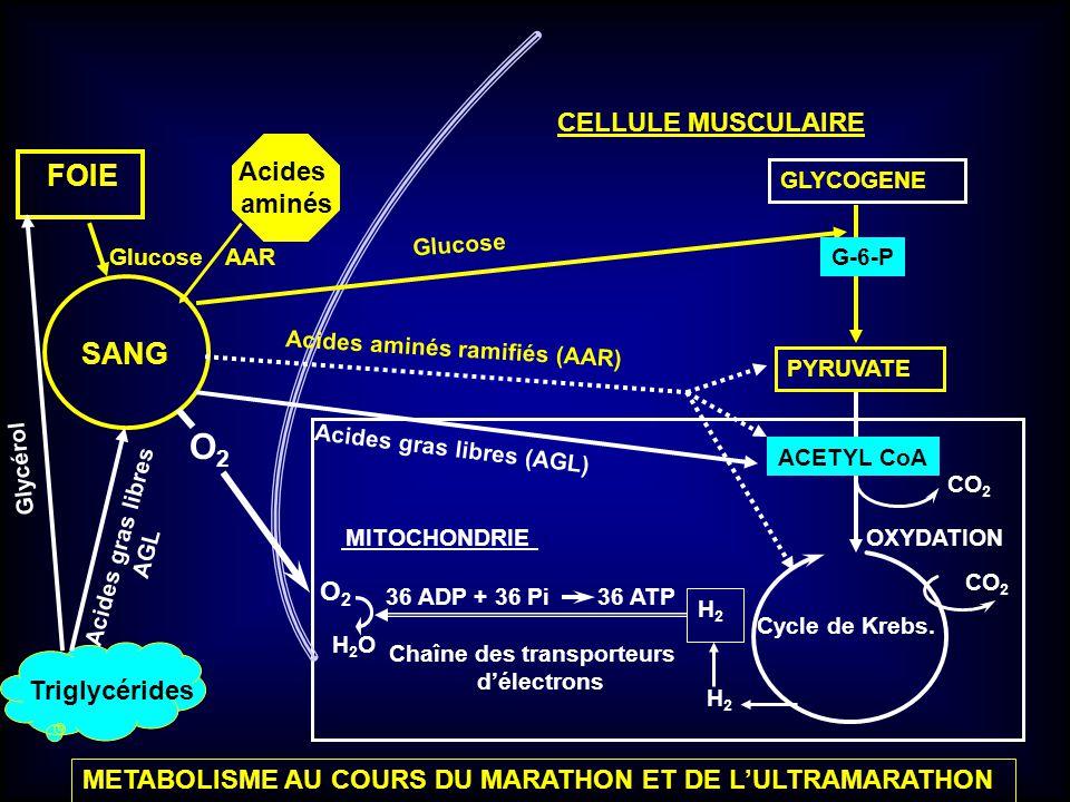 O2 FOIE SANG 36 ADP + 36 Pi 36 ATP CELLULE MUSCULAIRE Acides aminés O2
