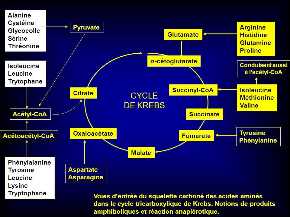CYCLE DE KREBS Alanine Cystéine Glycocolle Sérine Thréonine Pyruvate