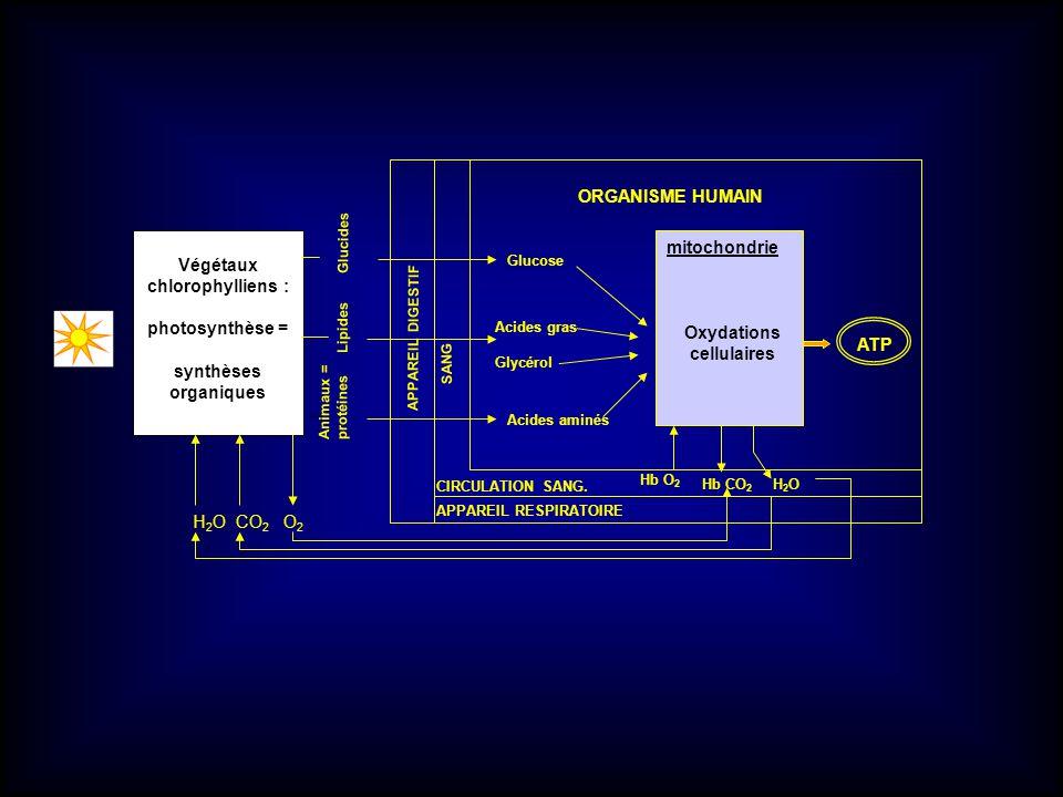 ORGANISME HUMAIN mitochondrie Végétaux chlorophylliens :