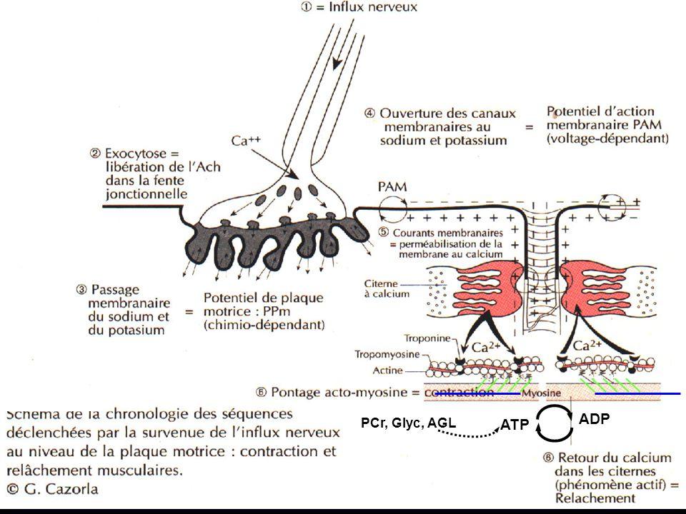 ADP PCr, Glyc, AGL ATP