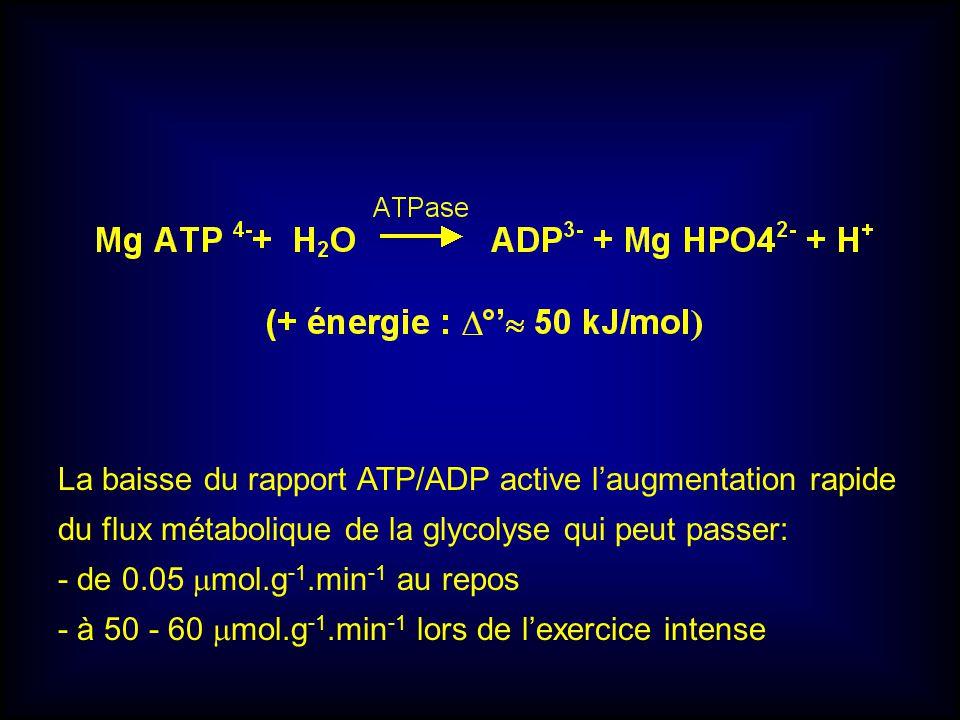 La baisse du rapport ATP/ADP active l'augmentation rapide