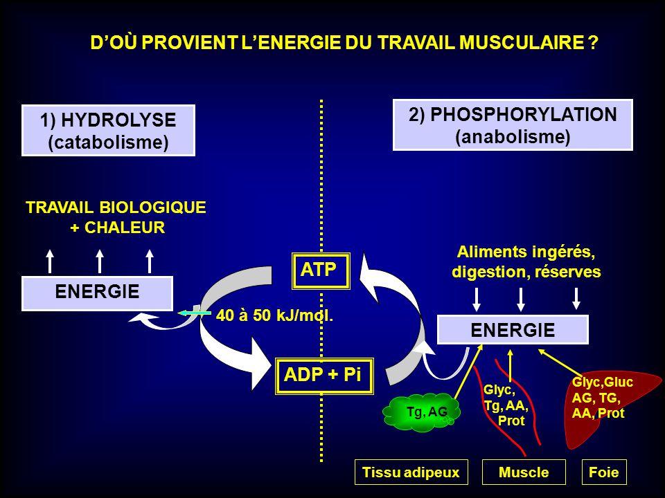 D'OÙ PROVIENT L'ENERGIE DU TRAVAIL MUSCULAIRE