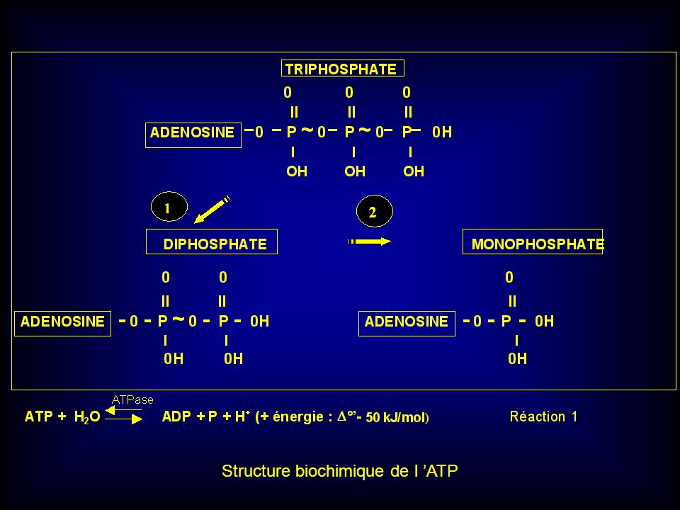 Structure biochimique de l 'ATP