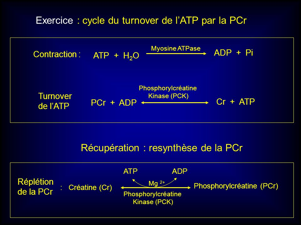 Exercice : cycle du turnover de l'ATP par la PCr