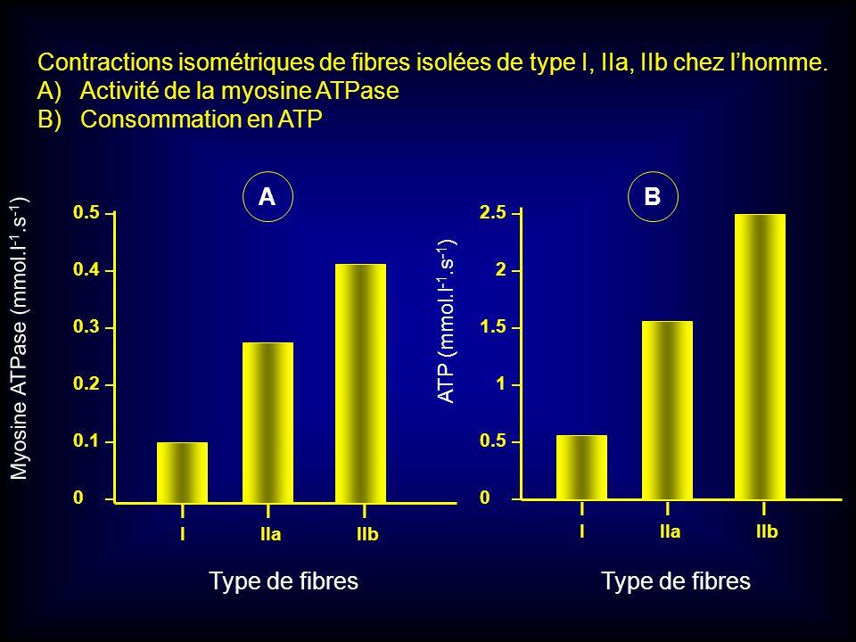 Activité de la myosine ATPase Consommation en ATP