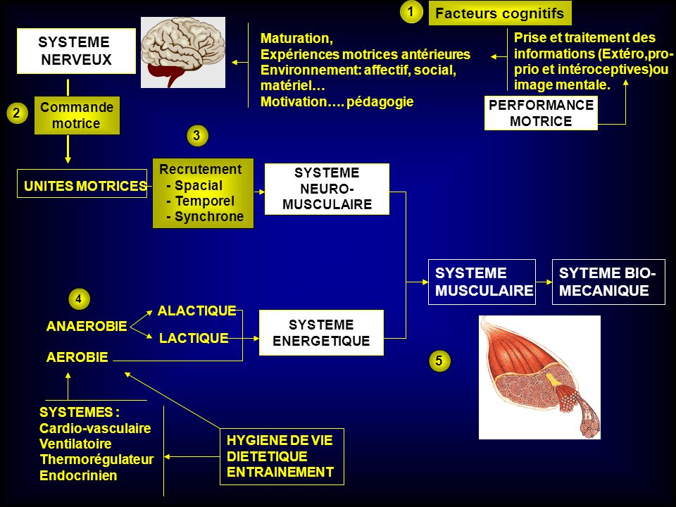 Facteurs cognitifs SYSTEME NERVEUX SYSTEME MUSCULAIRE SYTEME BIO-