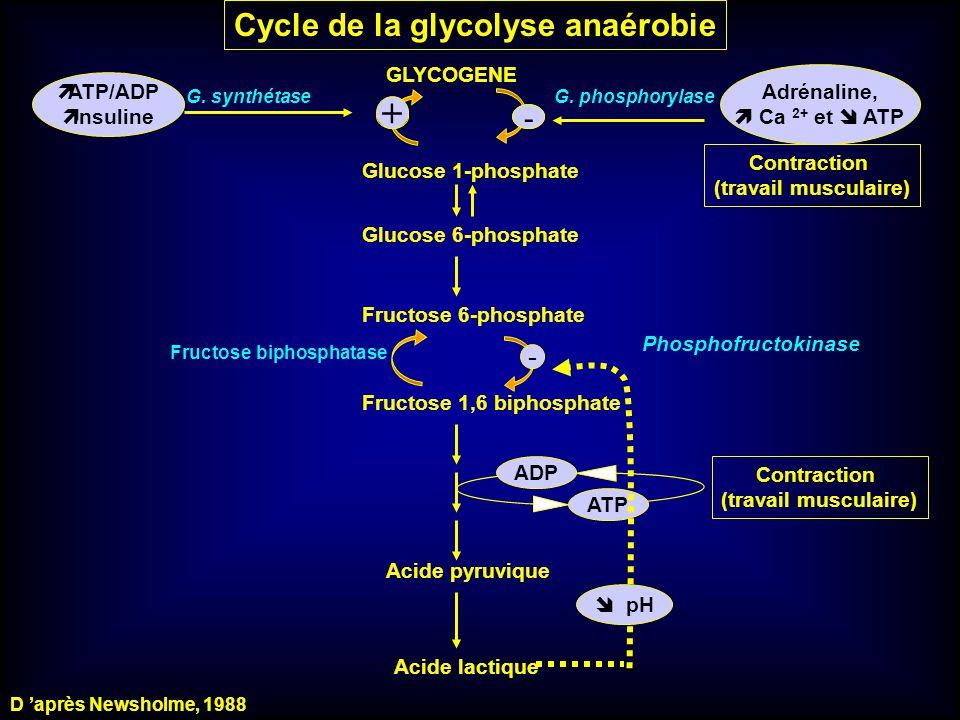+ Cycle de la glycolyse anaérobie - - - + GLYCOGENE Adrénaline,