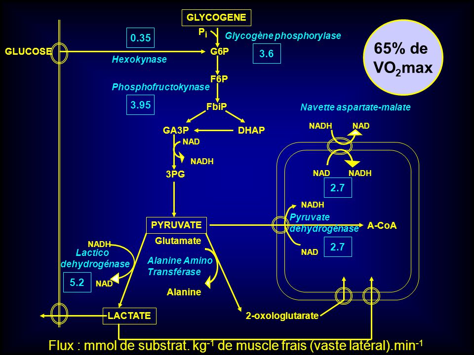 GLYCOGENE 65% de. VO2max. Pi. 0.35. Glycogène phosphorylase. GLUCOSE. G6P. 3.6. Hexokynase.