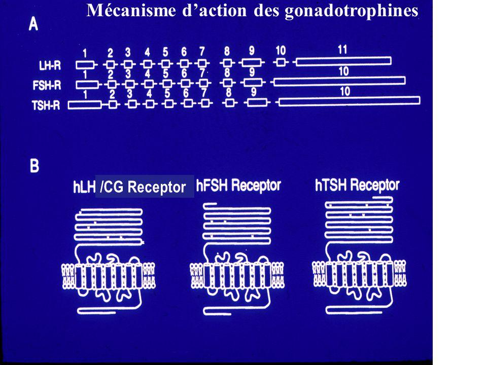 Mécanisme d'action des gonadotrophines