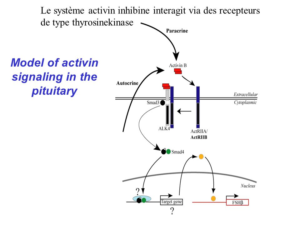 Model of activin signaling in the pituitary
