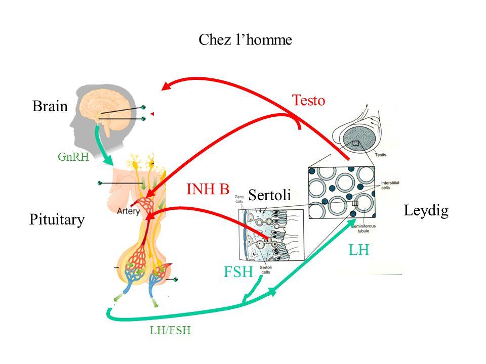 Chez l'homme Testo Brain Ovary INH B Sertoli Leydig Pituitary LH FSH
