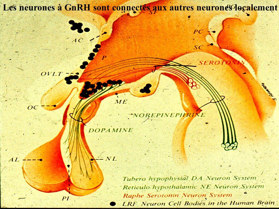 Les neurones à GnRH sont connectés aux autres neurones localement