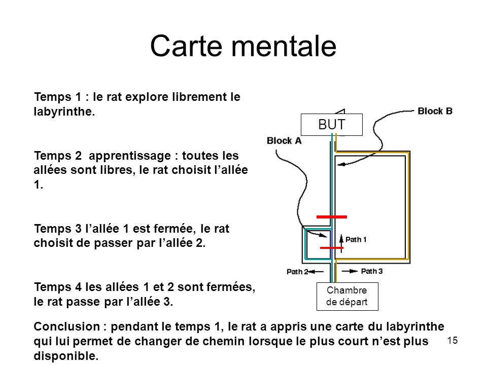 Carte mentale BUT Temps 1 : le rat explore librement le labyrinthe.