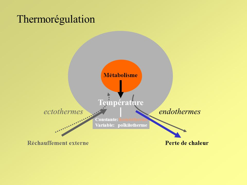 Thermorégulation Température ectothermes endothermes Métabolisme