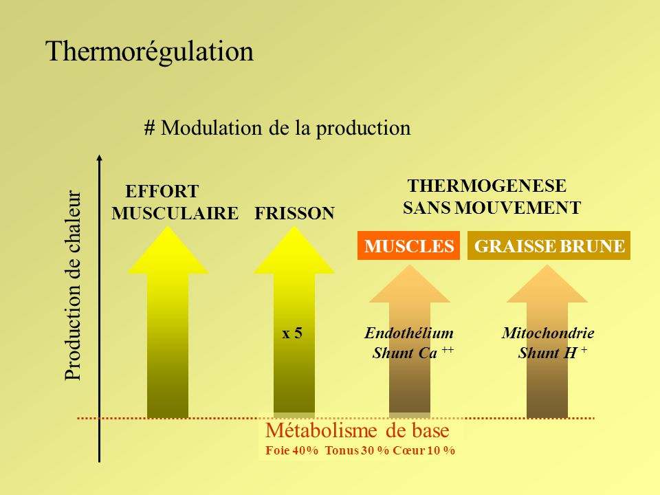 Thermorégulation # Modulation de la production Production de chaleur