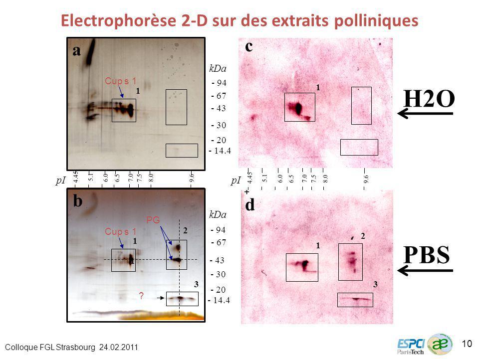 Electrophorèse 2-D sur des extraits polliniques