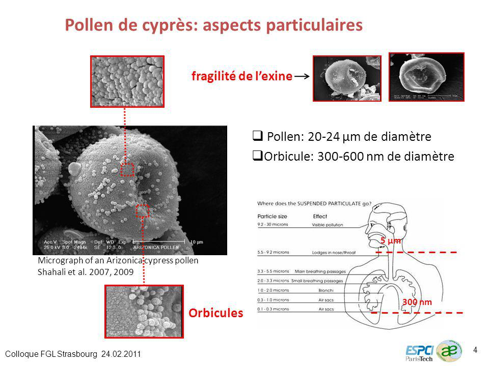 Pollen de cyprès: aspects particulaires