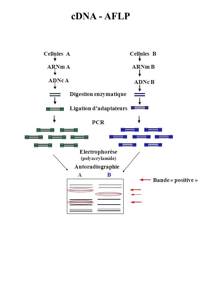 Ligation d'adaptateurs Electrophorèse (polyacrylamide)