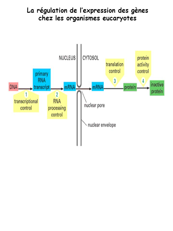 La régulation de l'expression des gènes chez les organismes eucaryotes