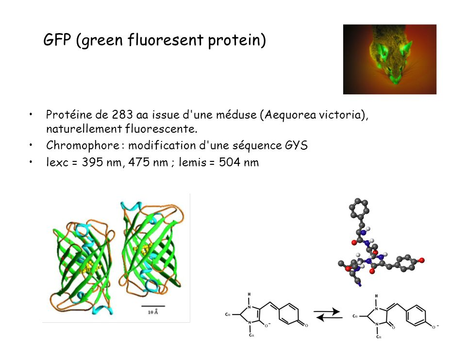 GFP (green fluoresent protein)
